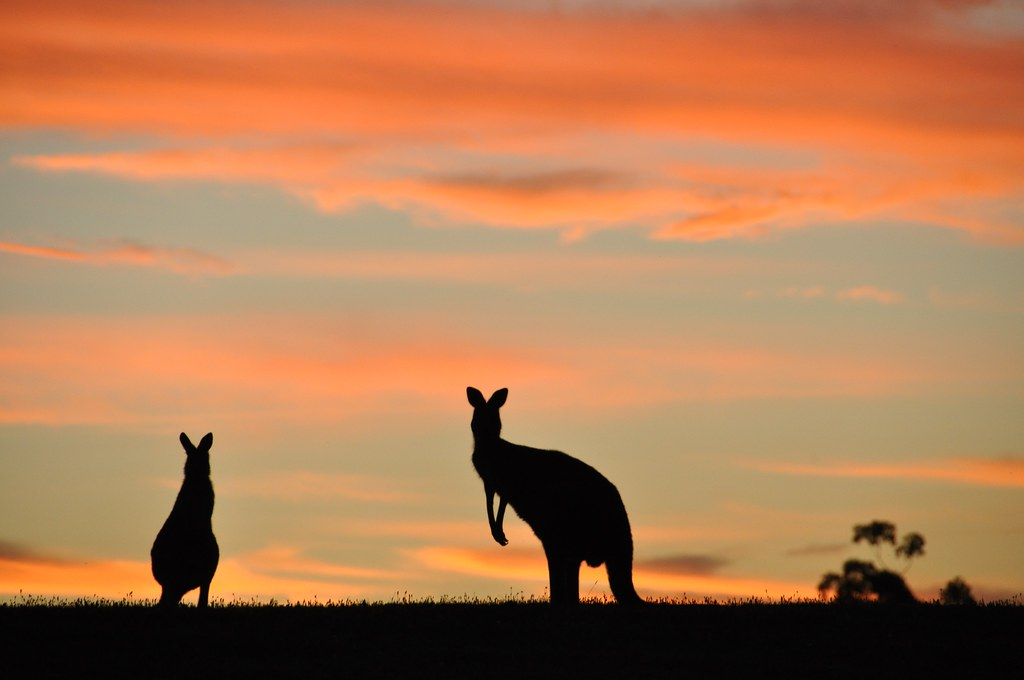 Silhouettes of kangaroos against the sky at dusk